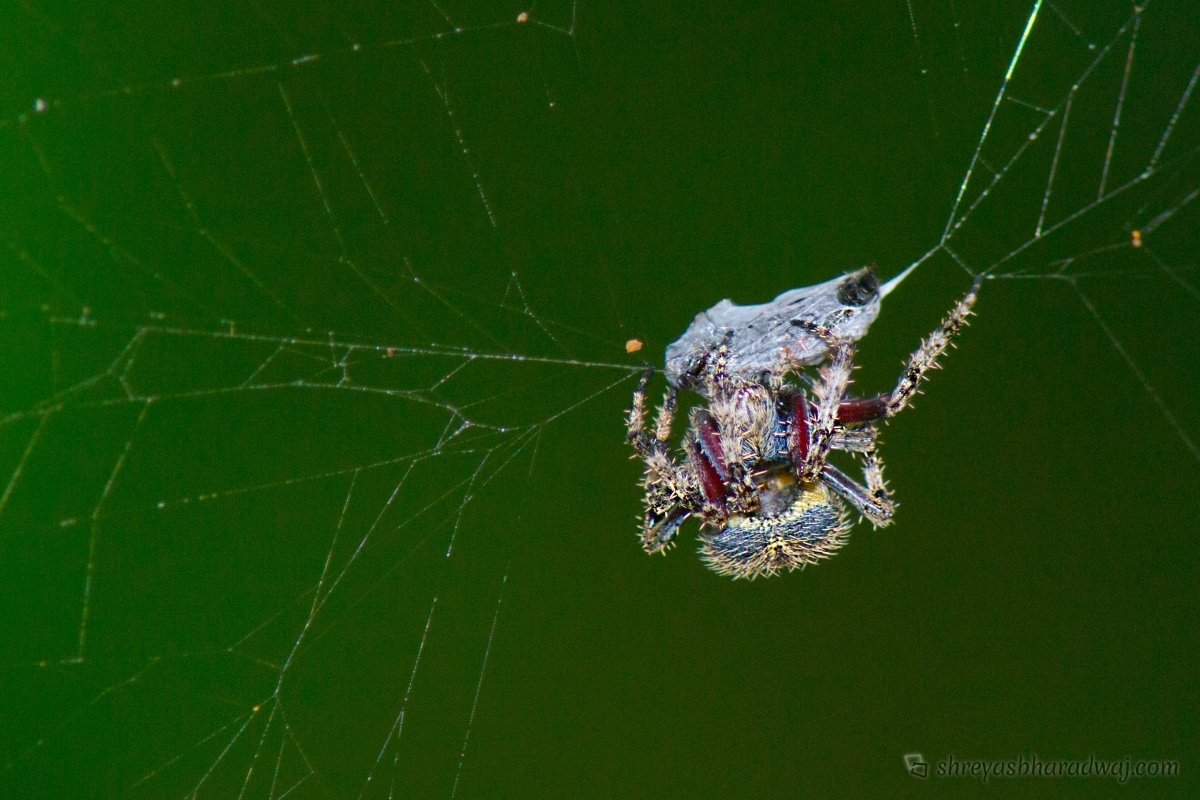 Spider with a kill