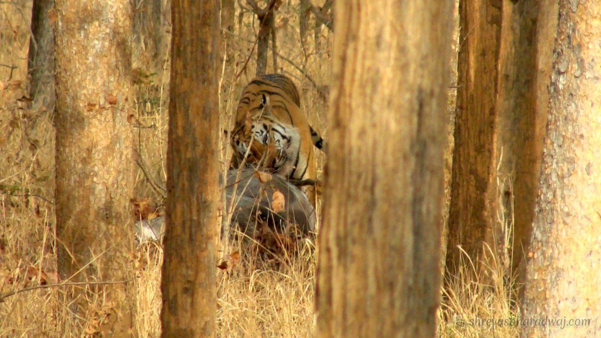 Tiger feasting on a Blue-bull kill