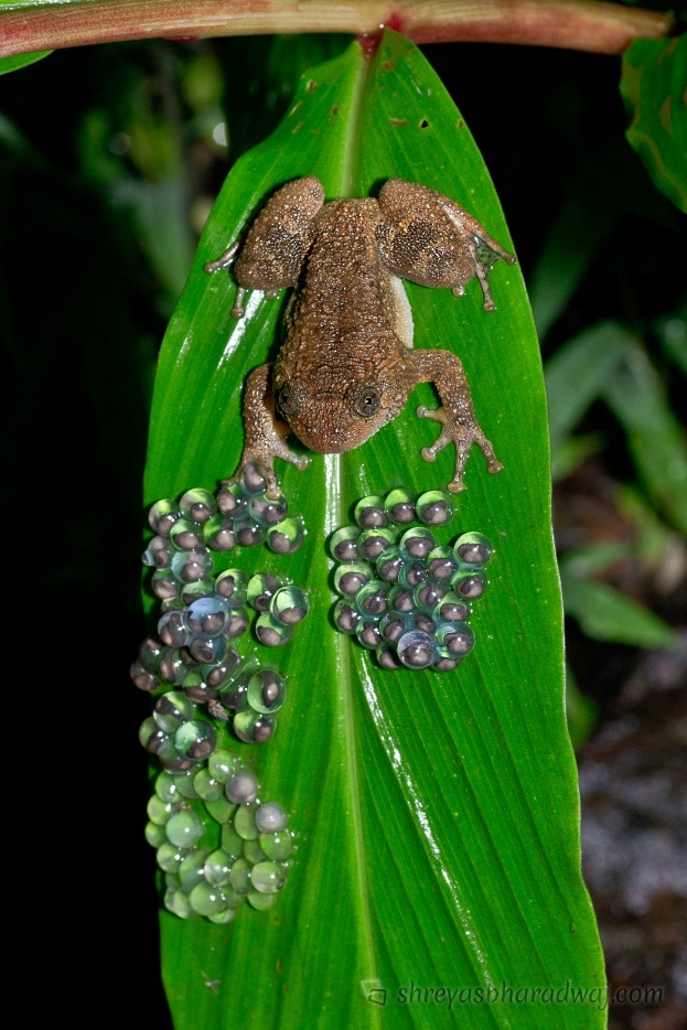 Wrinkled frog guarding the eggs